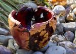 Manzanita Burl Bowl #12